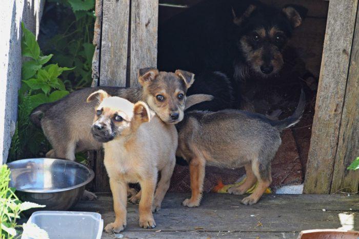 Zdjęcie przedstawia 3 szczeniaki oraz ich matkę siedzącą w budzie dla psów.